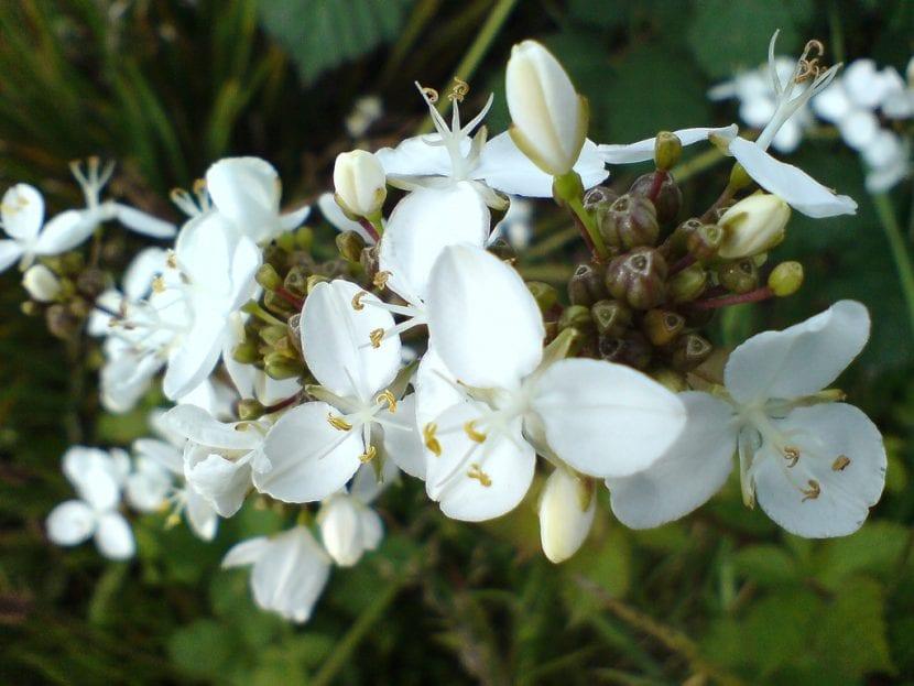 Planta de Libertia chilensis
