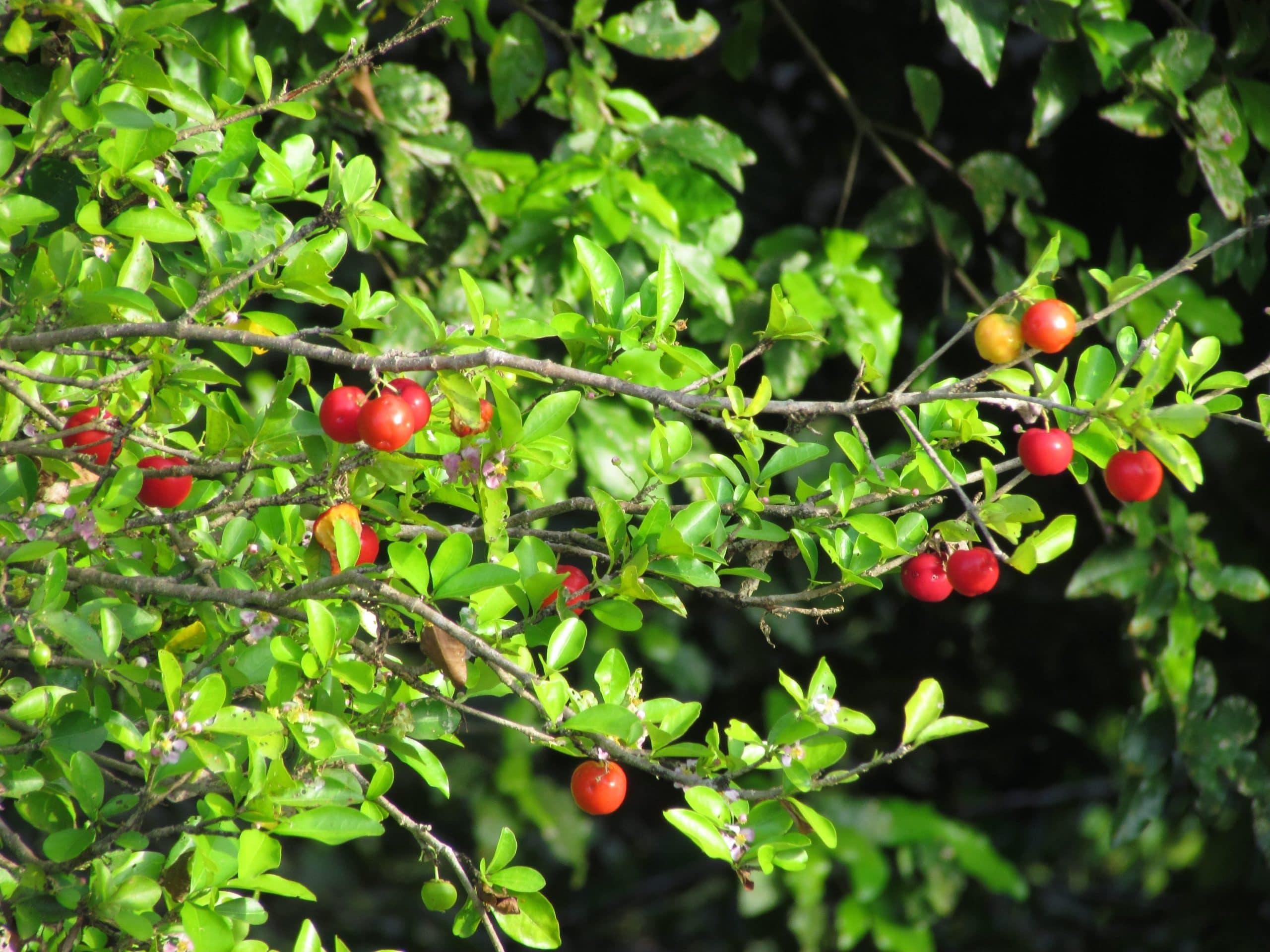 Malpighia emarginata, hojas, ramas y frutos de la acerola