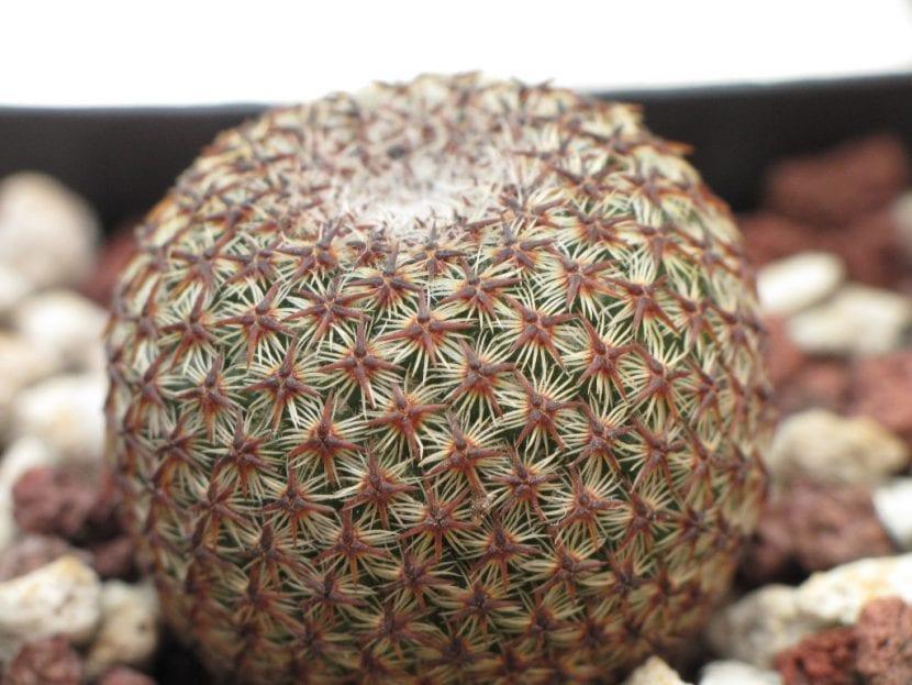 Ejemplar de Mammillaria crucigera
