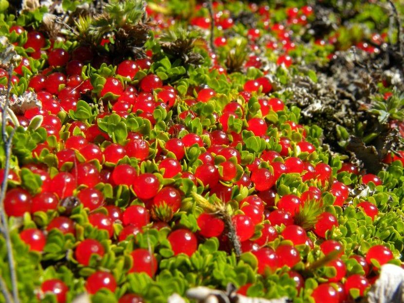 Planta Nertera granadensis
