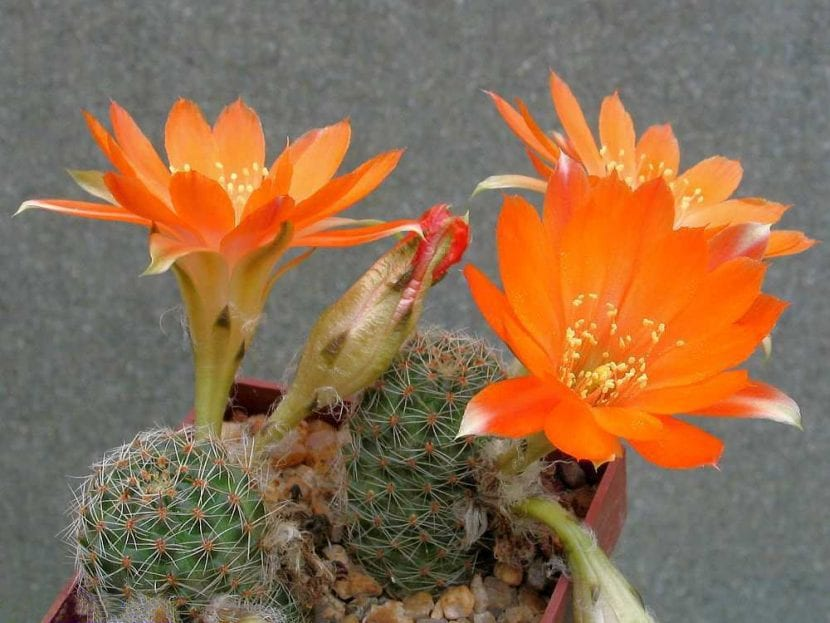 Ejemplar de Rebutia friedrichiana