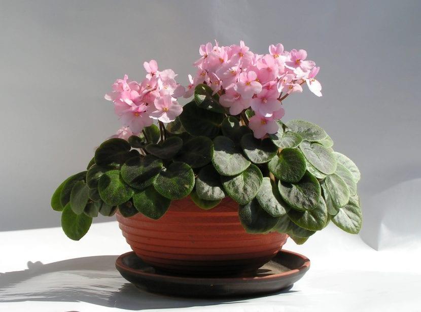 Planta de Saintpaulia