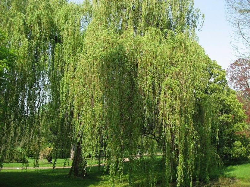 Árbol Salix alba 'Tristis'