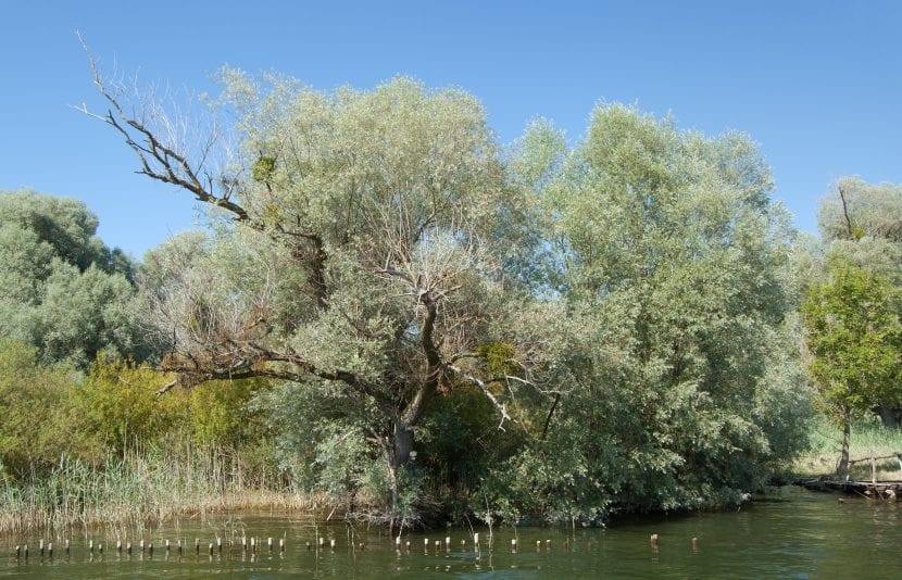 Salix alba en lago