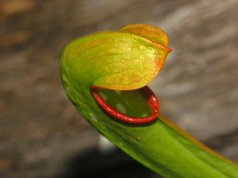 Planta de Sarracenia minor