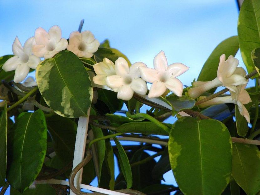 Planta de Stephanotis floribunda f. Variegata