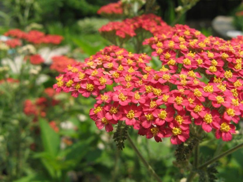 Flores de la planta Achillea millefolium