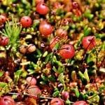Vista del arandano rojo