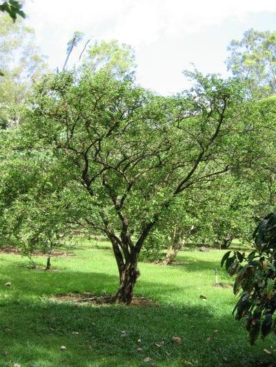 Vista del árbol de acerola