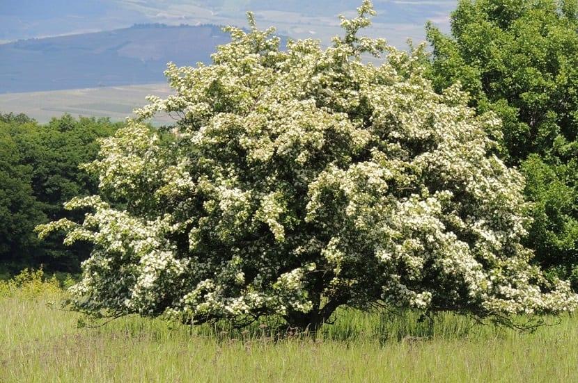 el espino blanco tiene hojas caduca