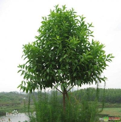 Árbol de la planta Santalum album