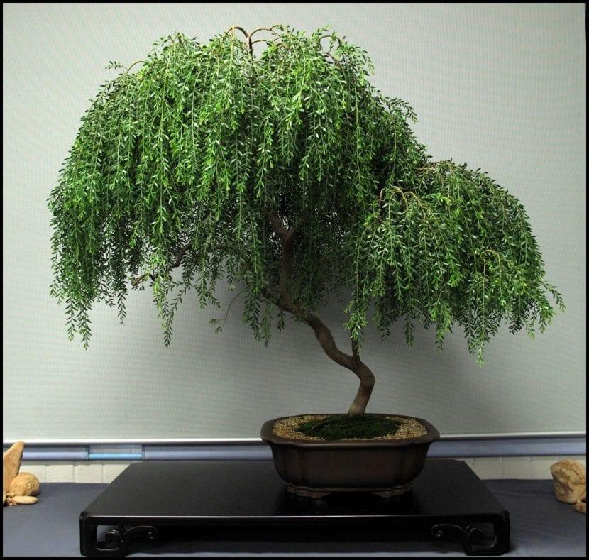 Haz de tu acacia un bonsái siguiendo nuestros consejos