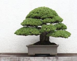 Bonsái de pino japonés