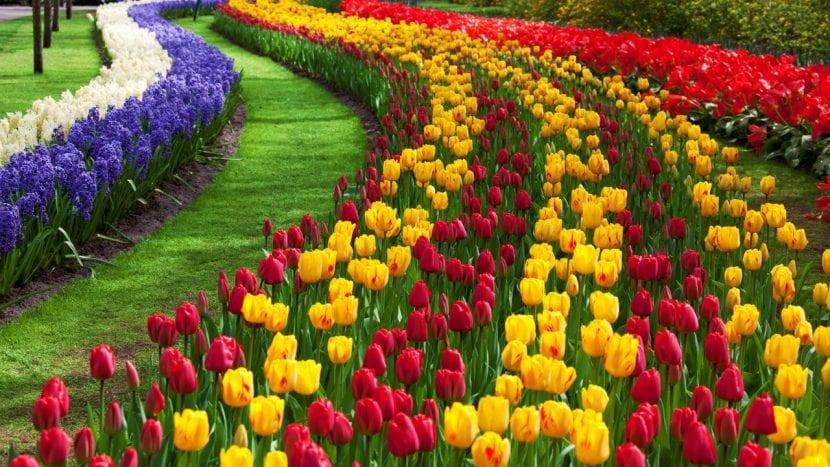 Tulipanes en flor