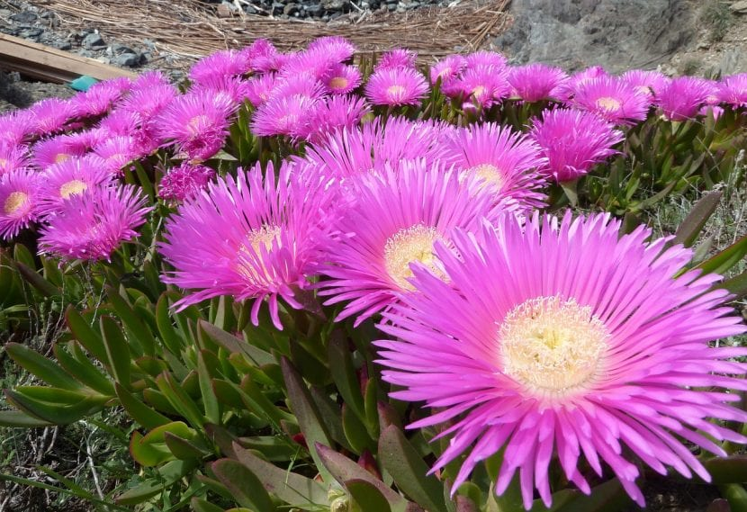 Carpobrotus edulis en flor