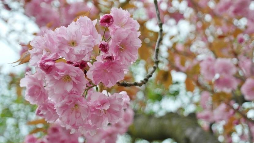 Cerezo japonés en flor