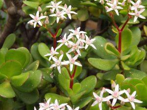 Las flores de la Crassula ovata son blancas