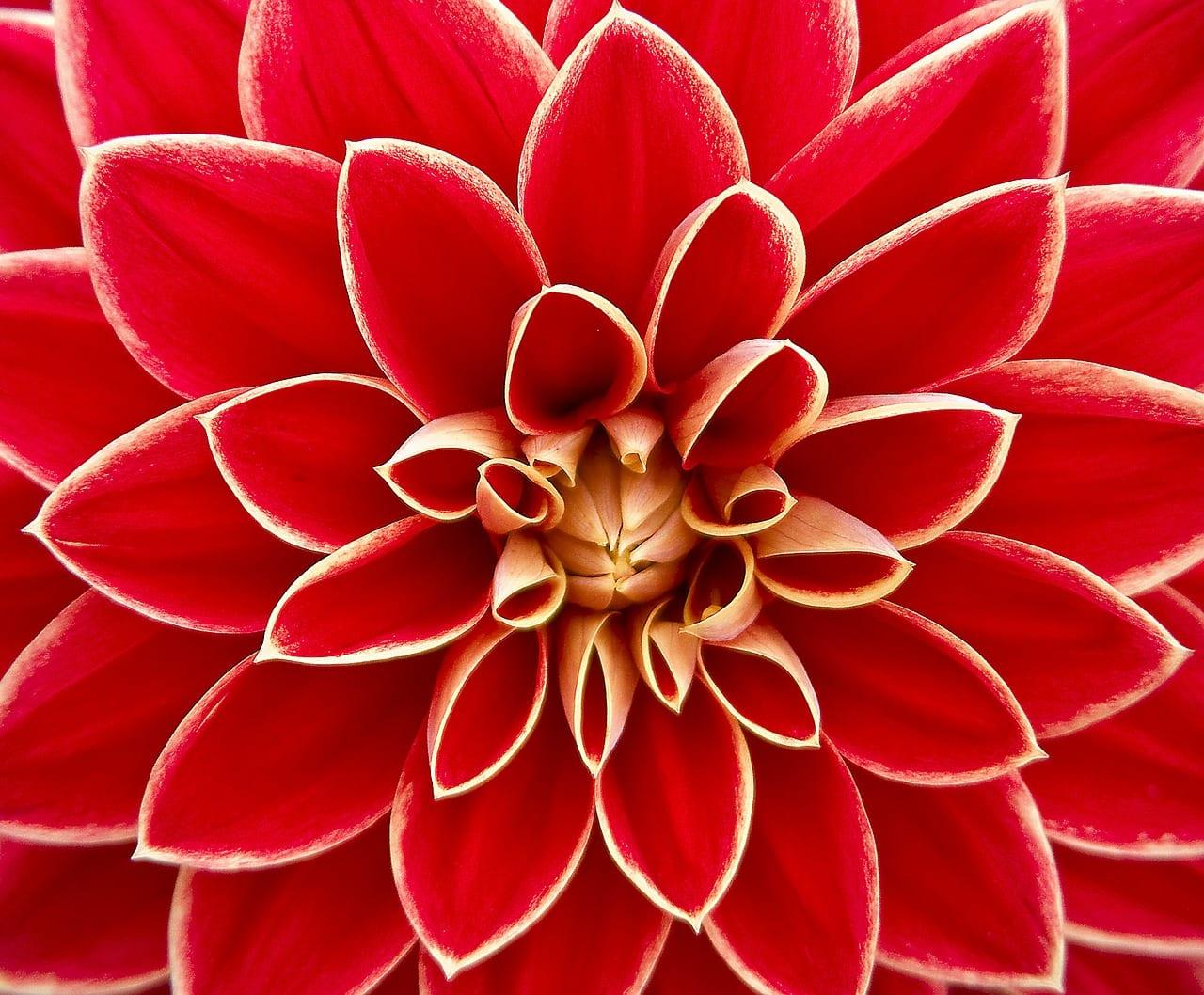 Dahlia, la flor del verano