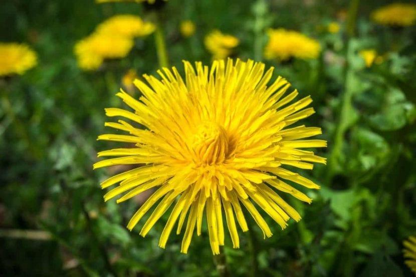 La flor del diente de león es amarilla