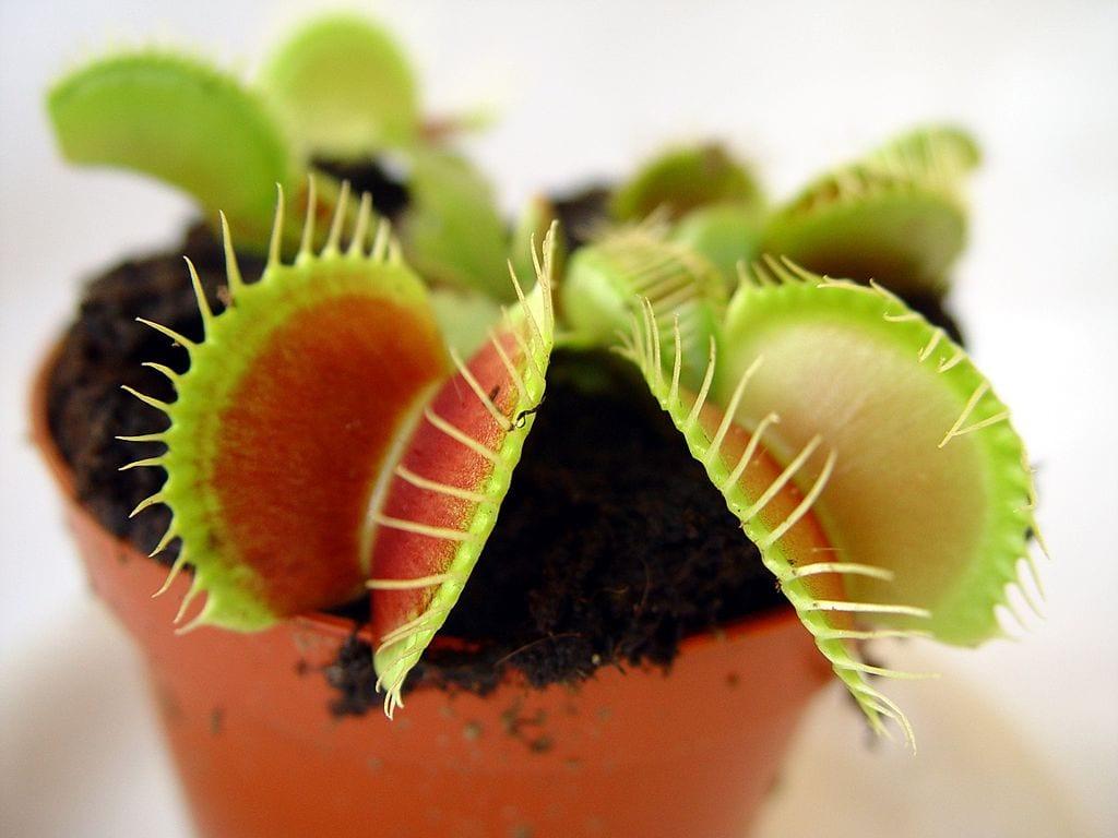 Planta de Dionaea muscipula en maceta