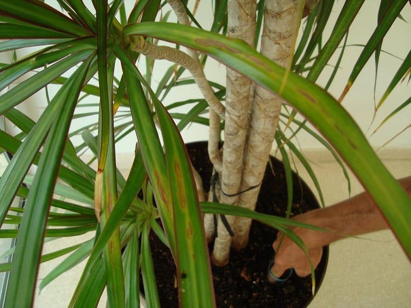 s una planta que no requiere de cuidados intensivos