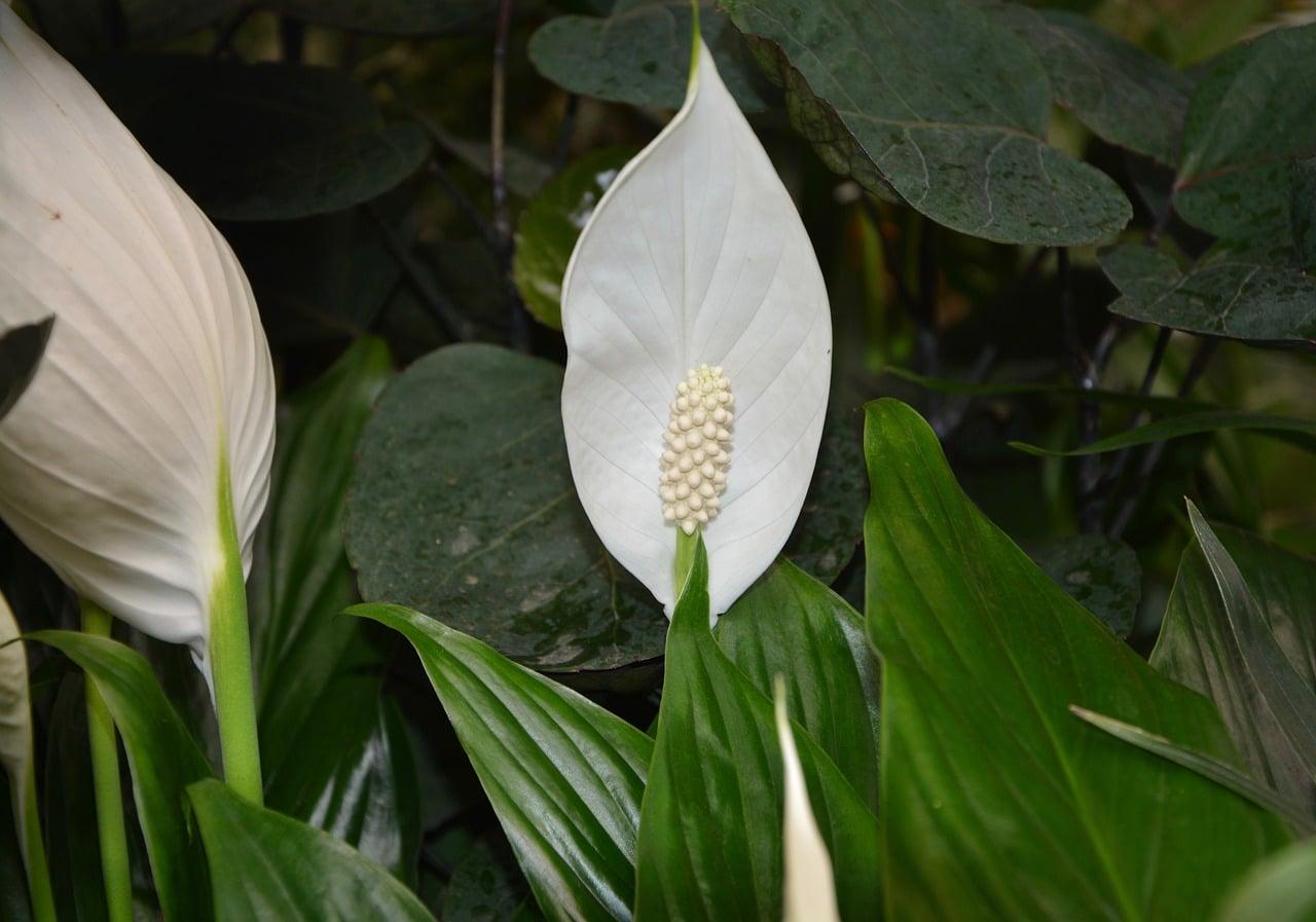 Vista del espatifilo en flor