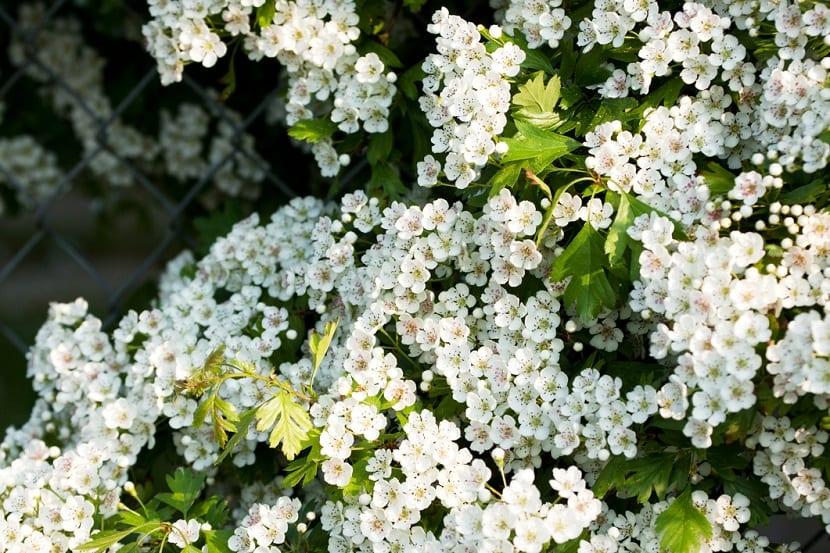 el espino blanco tiene muchas propiedades medicinales