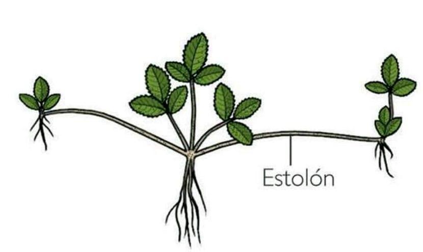 los estolones hacen que la planta se reproduzca vegetativamente
