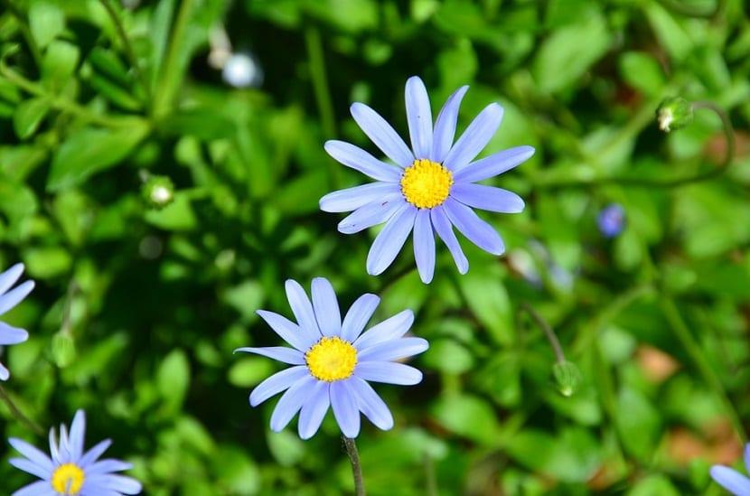 margaritas azules o felicia