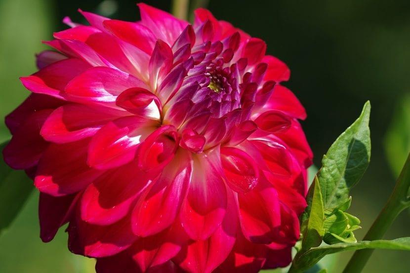 Preciosa flor de dalia