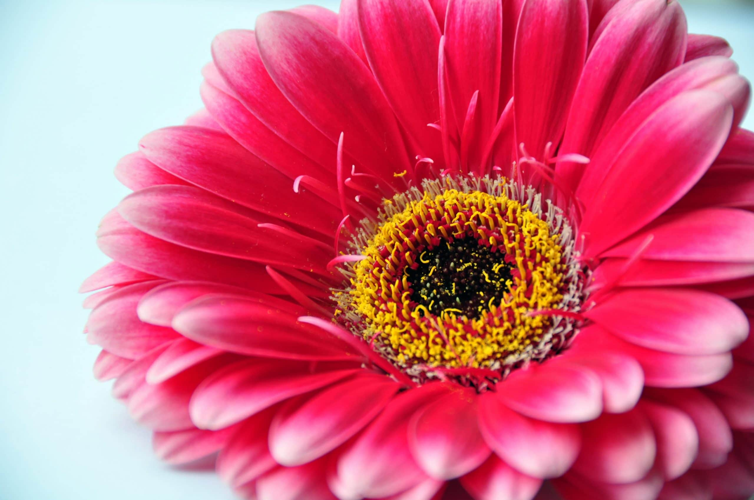 Flor de Gerbera roja