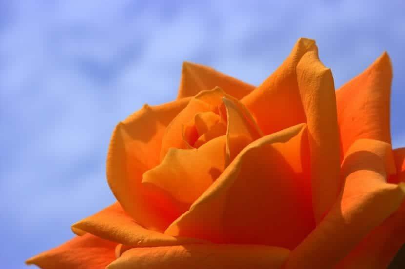Flor de rosa naranja