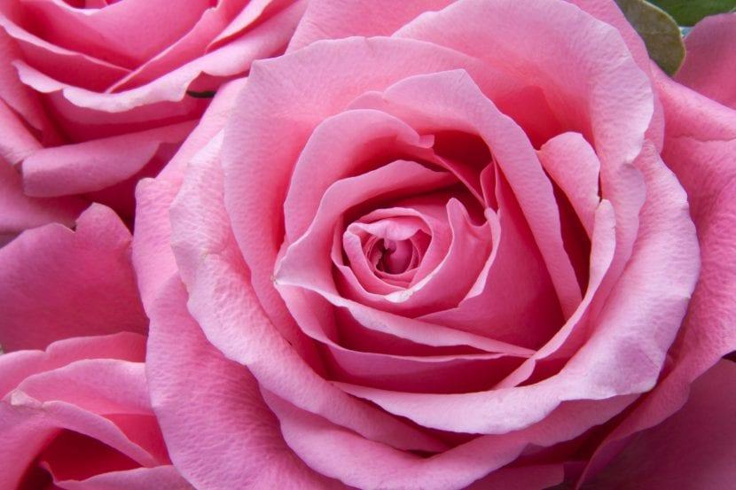 Flor de rosal rosa