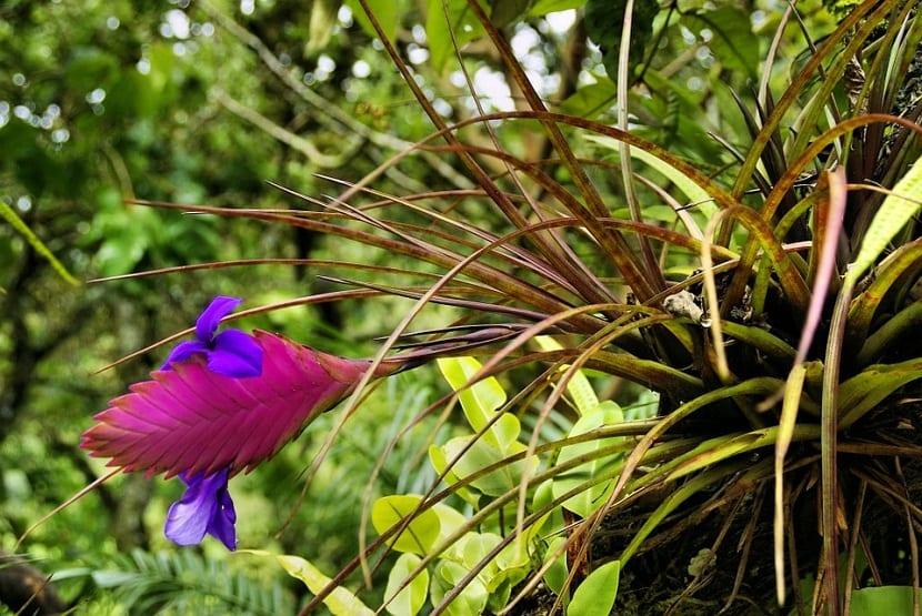 la bromelia es una flor exotica