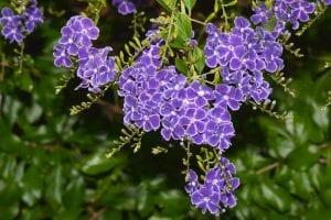 Flores de Durante repens