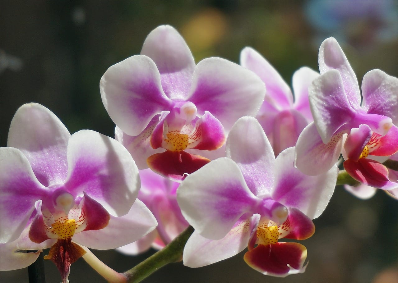 Flores de la orquídea Phalaenopsis