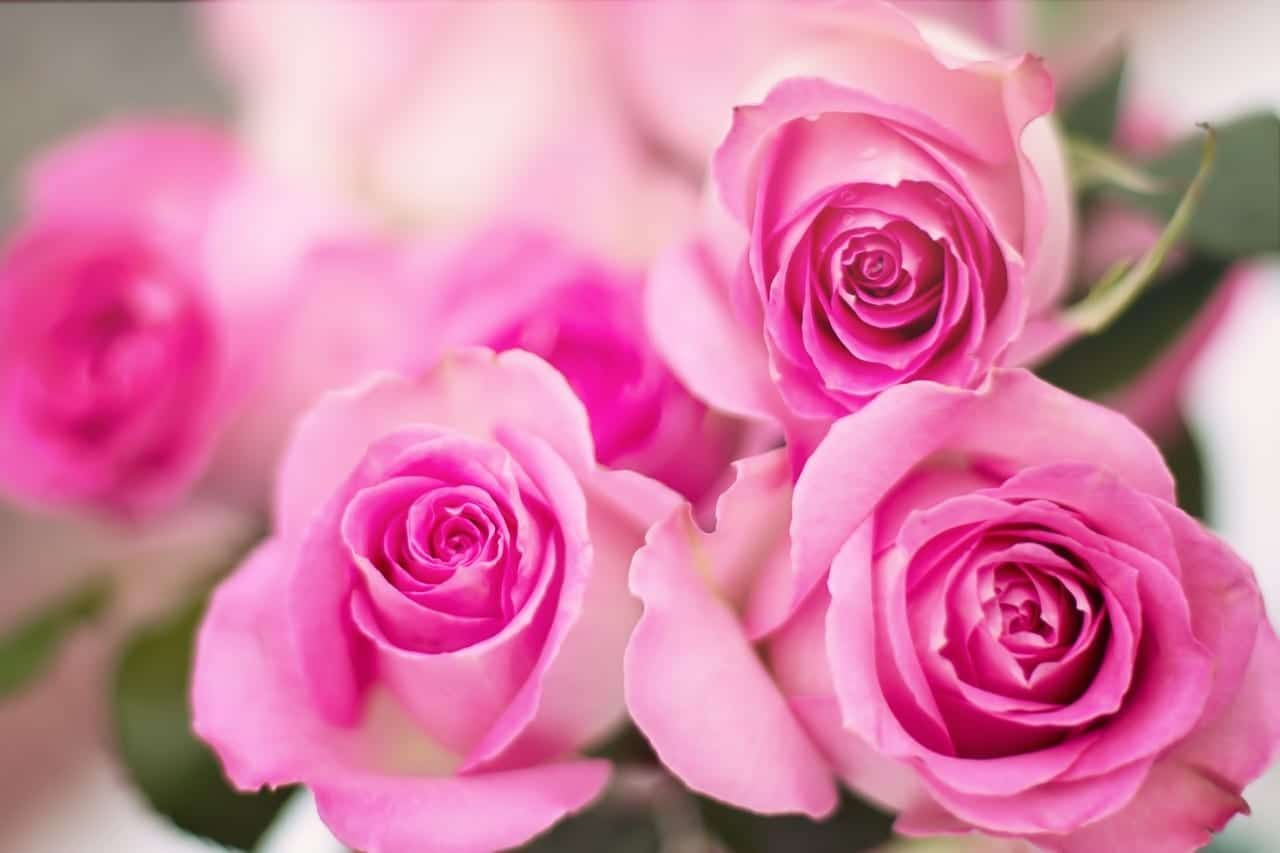 Flores de rosales rosa