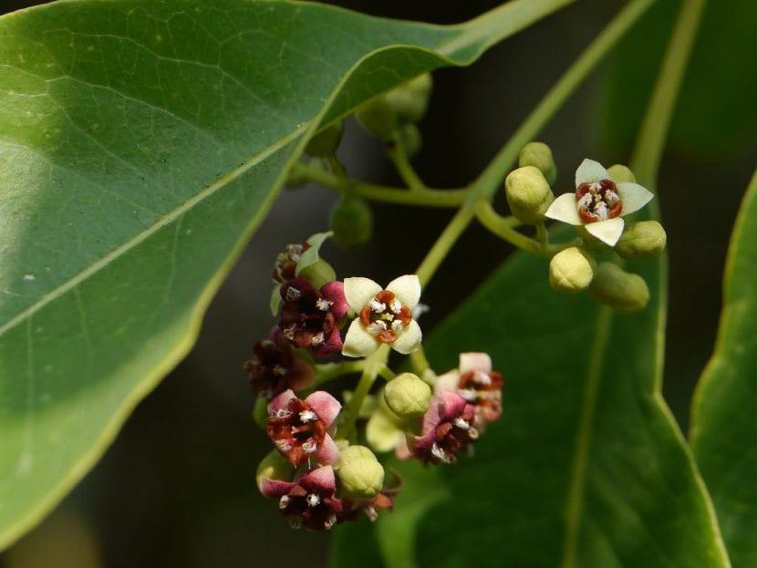 Detalle de las flores de sándalo
