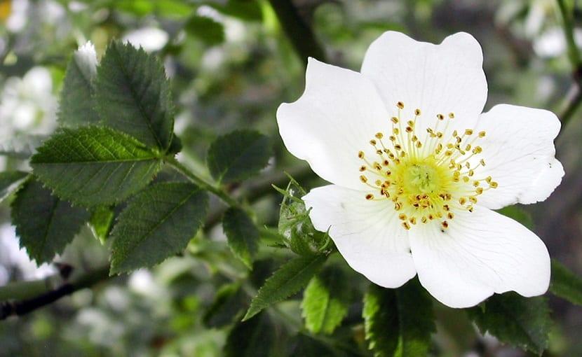 las flores del espino blanco tiene una agradable fragancia
