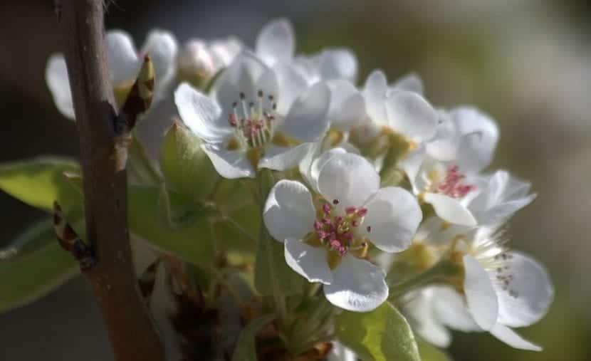 el peral florece pero no todas tienen fruto