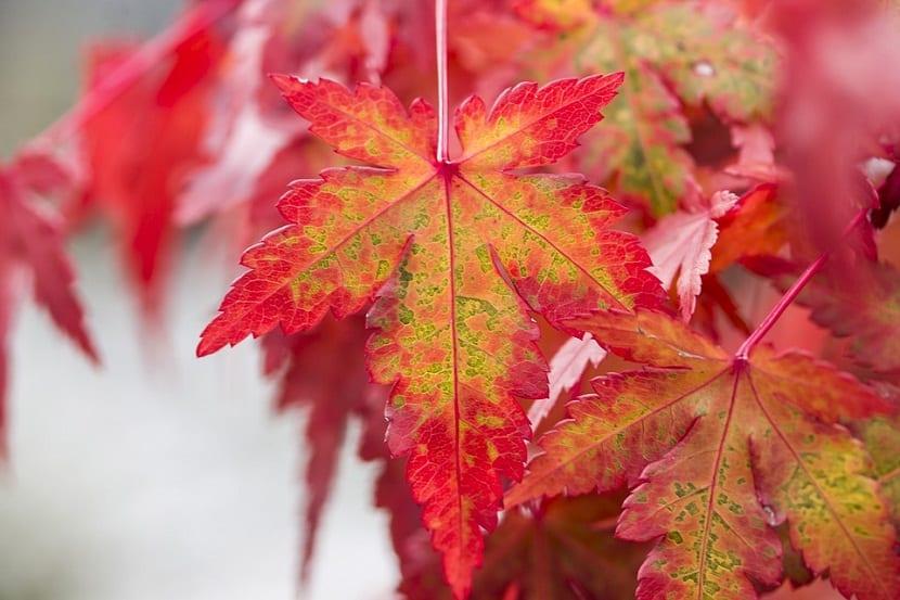 forma de las hojas del arce japones