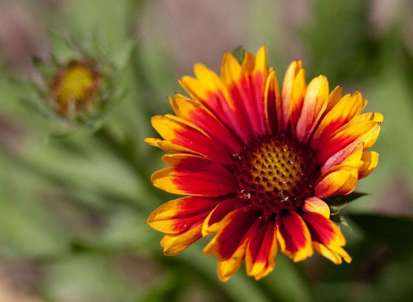 Gallardia en flor