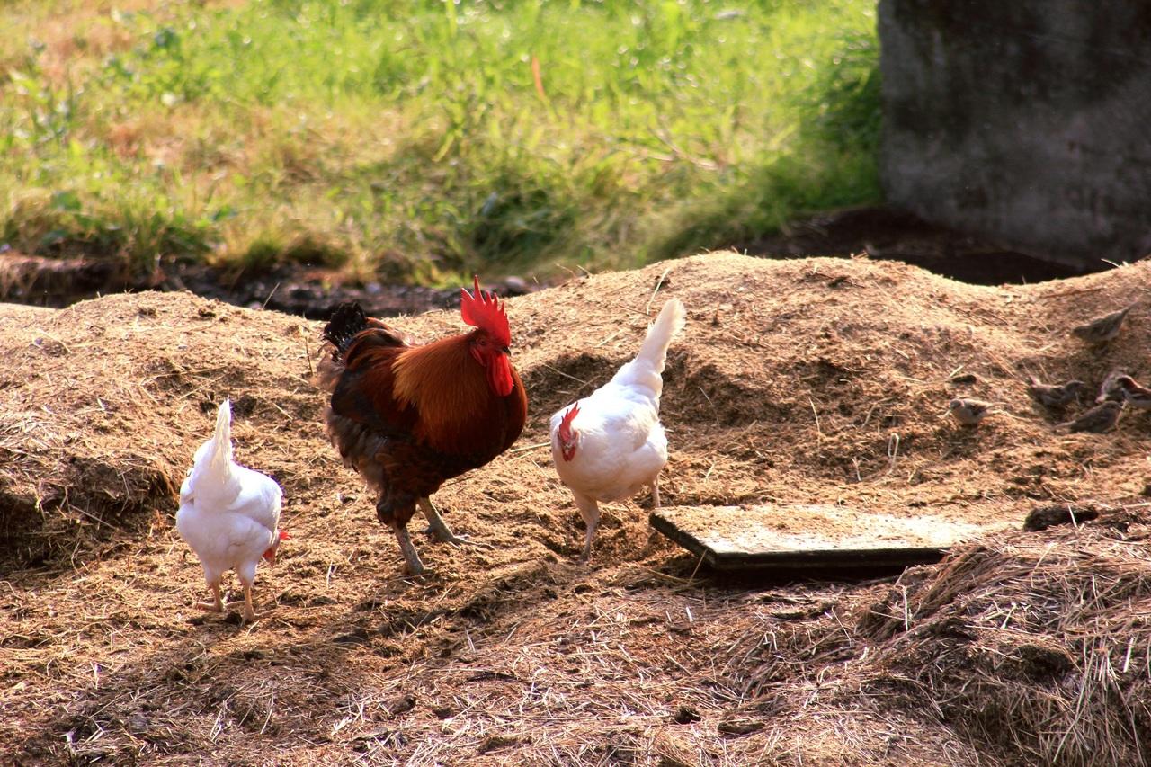 Las gallinas son animales que se pueden criar en libertad y que producen estiércol de calidad
