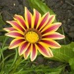 Planta de gazania en flor