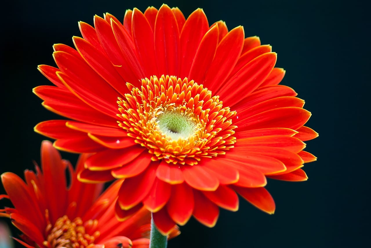 Flor de Gerbera de color rojo