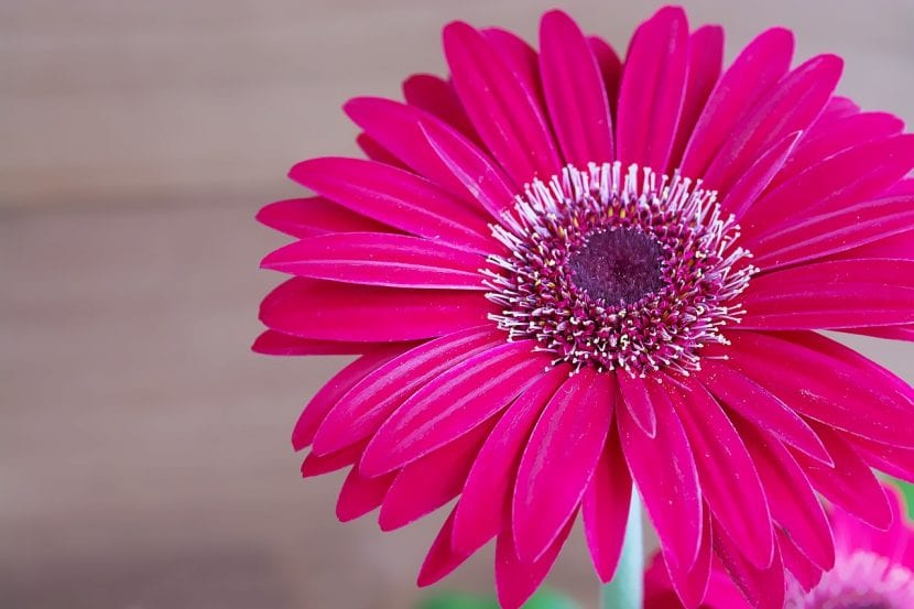 Gerbera de color rosa