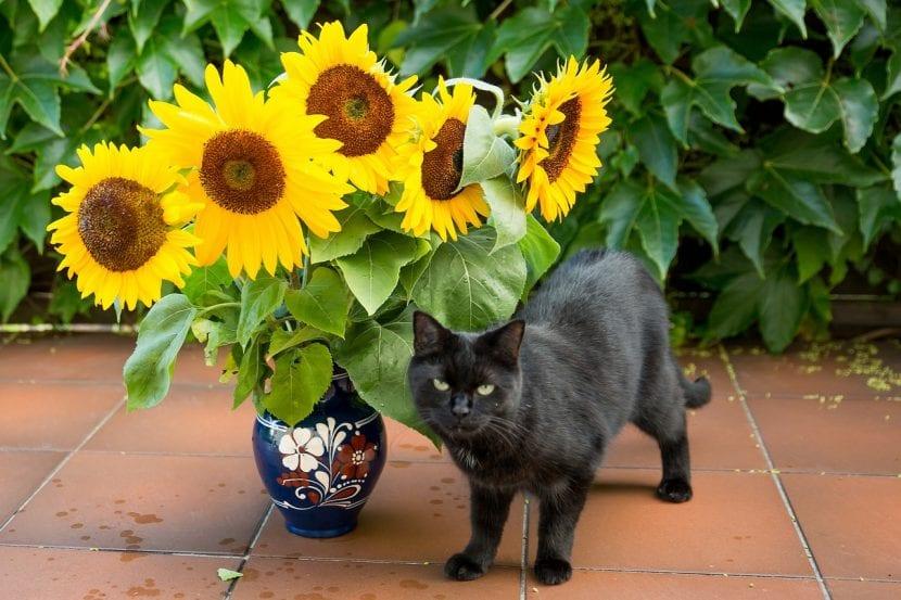 Girasol y gato negro
