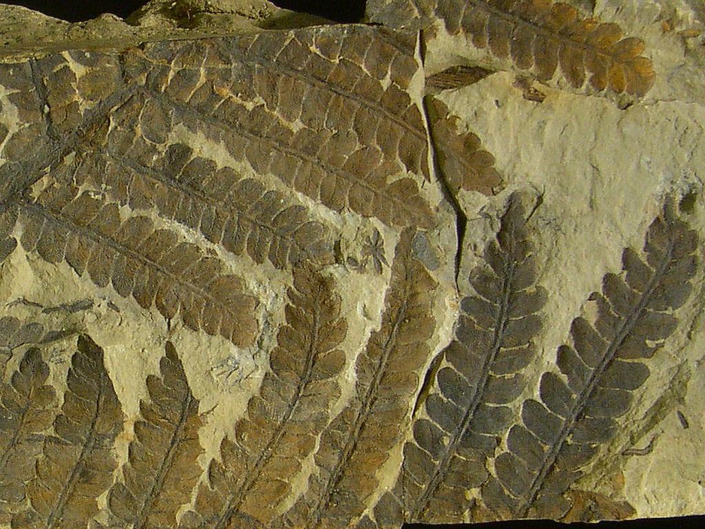 Helecho Pteridofita fosilizado