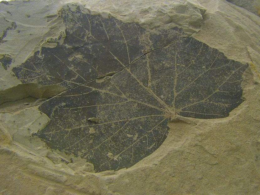 Hoja de árbol fosilizada