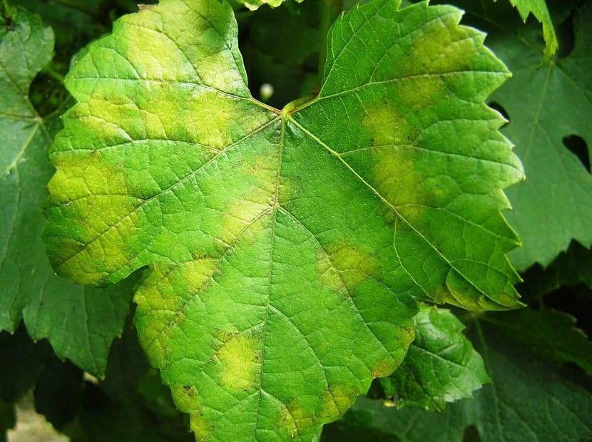 hojas afectadas por el mildiu